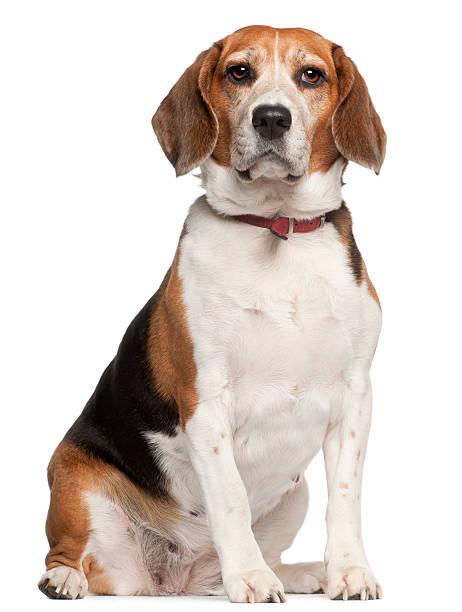 Front view of beagle five years old sitting white background picture id122286691?b=1&k=6&m=122286691&s=612x612&w=0&h=qnsywd9gcfvp5duqtforbbpb3jcymnnxyhjijv7ttra=