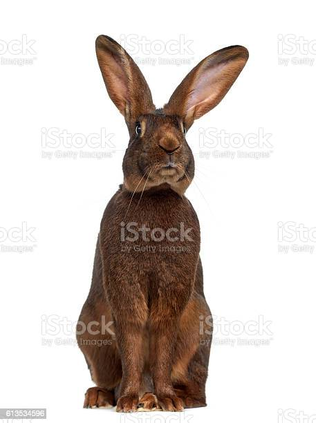 Front view of belgian hare isolated on white picture id613534596?b=1&k=6&m=613534596&s=612x612&h=jpm11s2sfbirwzuajjdakr420qxjgd7mifbfnlwf0hm=