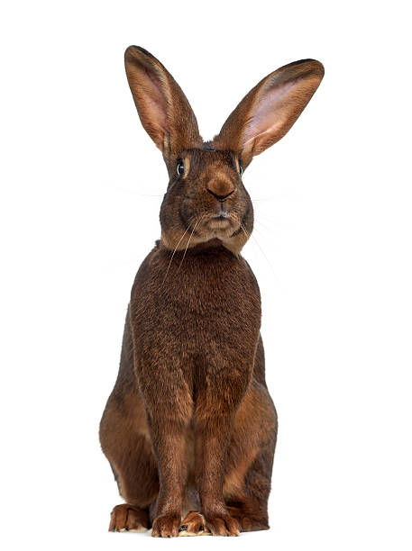 Front view of Belgian Hare isolated on white stock photo