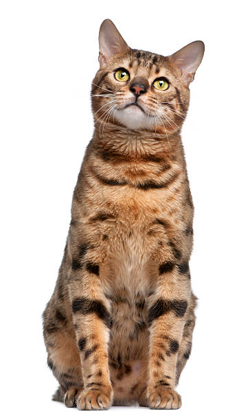 Front view of bengal cat sitting white background picture id113183623?b=1&k=6&m=113183623&s=612x612&w=0&h=y19gpamzm3luxrt5kd2gup7vs1fil5hdvk8amobuegk=
