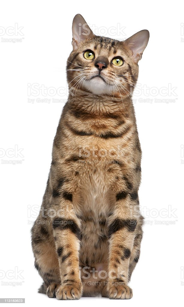 Front view of Bengal cat, sitting, white background. stock photo