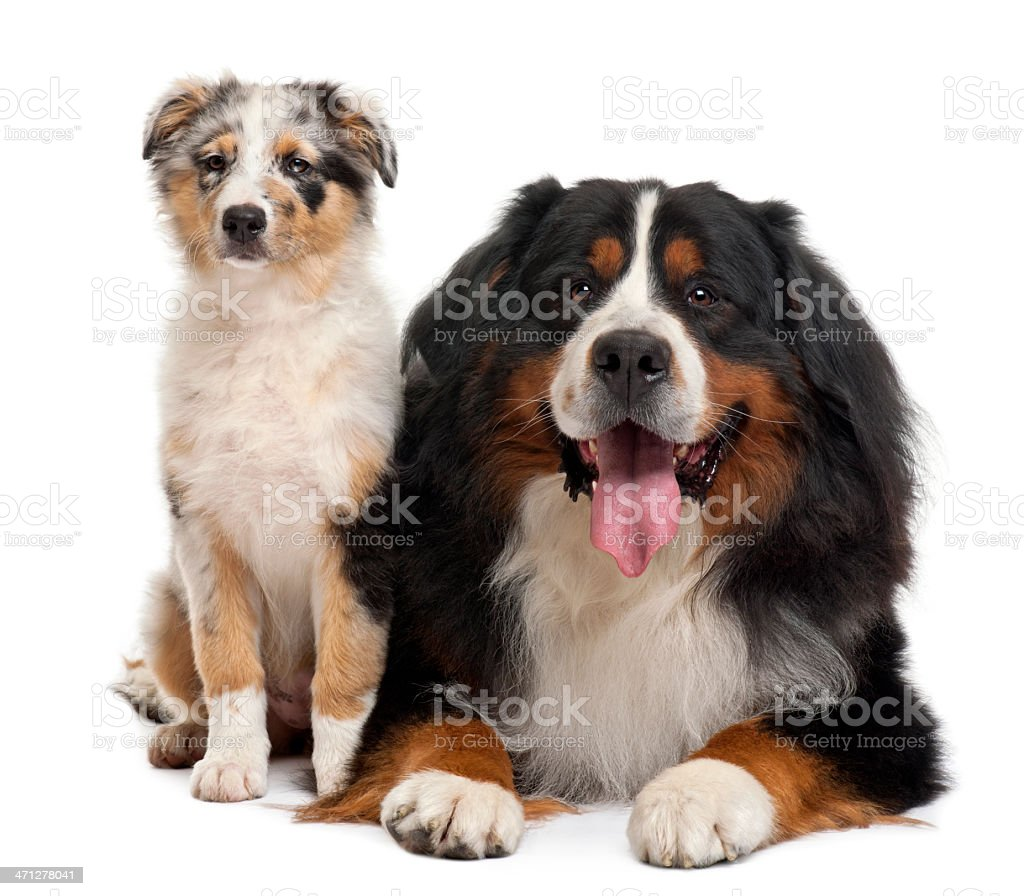 Front View Of Bernese Mountain Dog And An Australian
