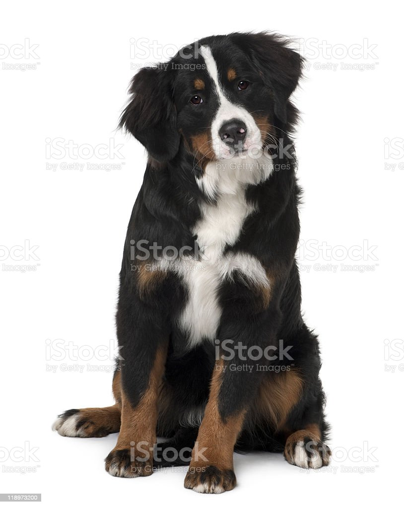 Front view of Bernese mountain dog puppy, sitting stock photo