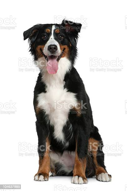 Front view of bernese mountain dog sitting and panting picture id104637885?b=1&k=6&m=104637885&s=612x612&h=r4 p7ekrfn32mkqb57y zmkbjsrf9vg8vgnzfxnno08=