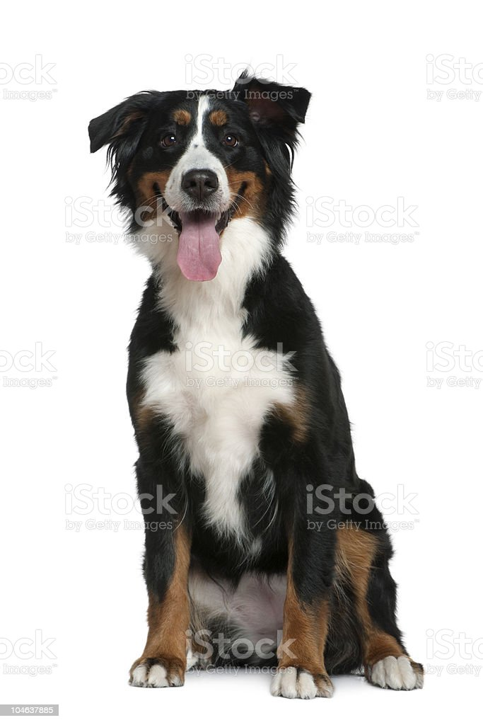 Front view of Bernese mountain dog, sitting and panting. stock photo