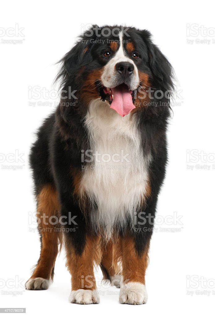 Front view of Bernese Mountain Dog, standing and panting stock photo