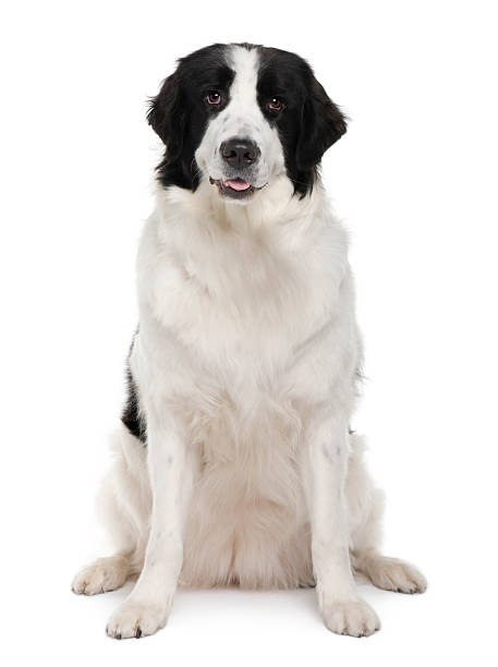 Front view of black and white landseer dog sitting picture id97628907?b=1&k=6&m=97628907&s=612x612&w=0&h=q57m0dt fvcbifvc 4h76f pve0slhkrncbij ahda0=