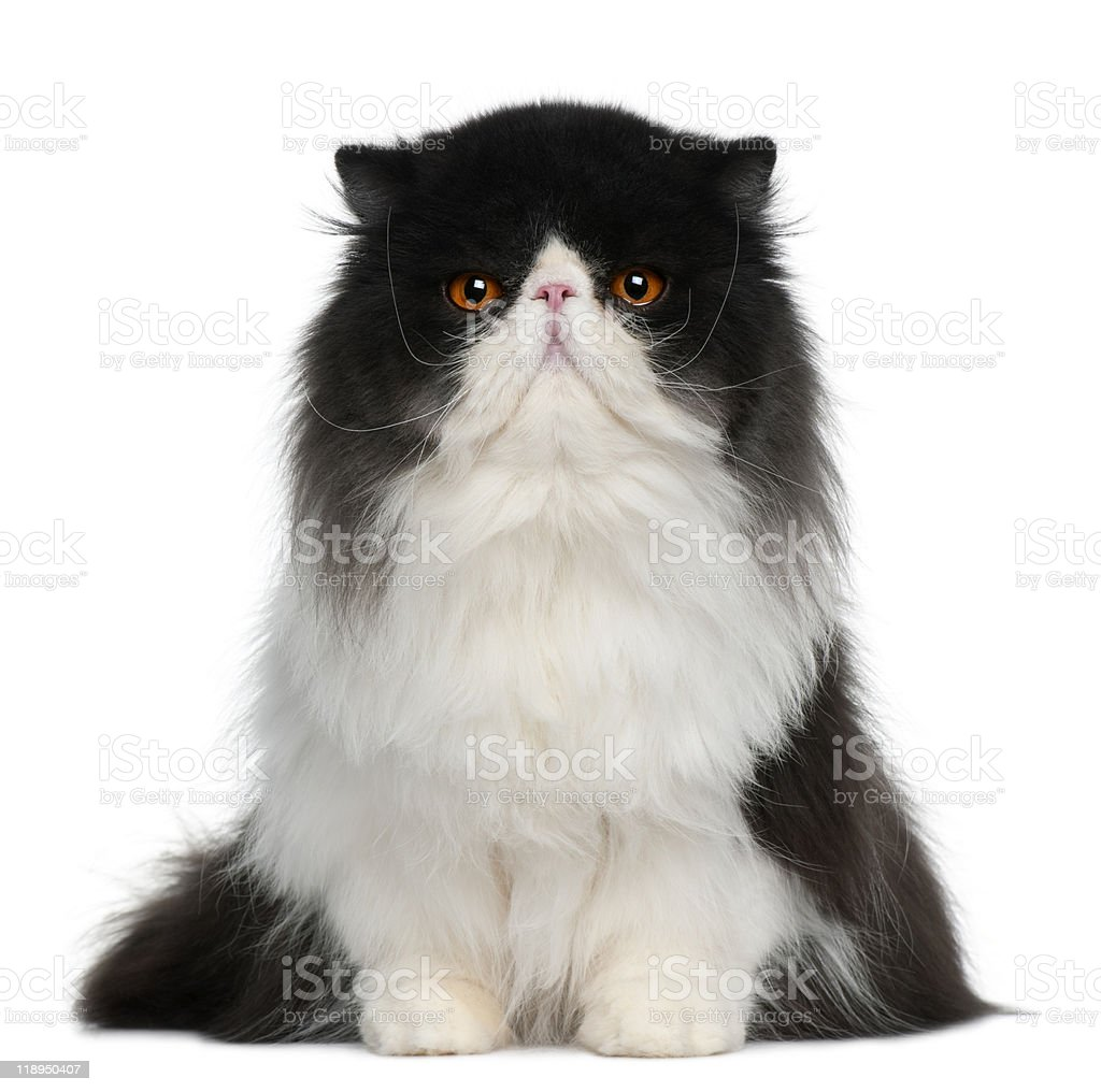Front view of Black and white Persian sitting stock photo