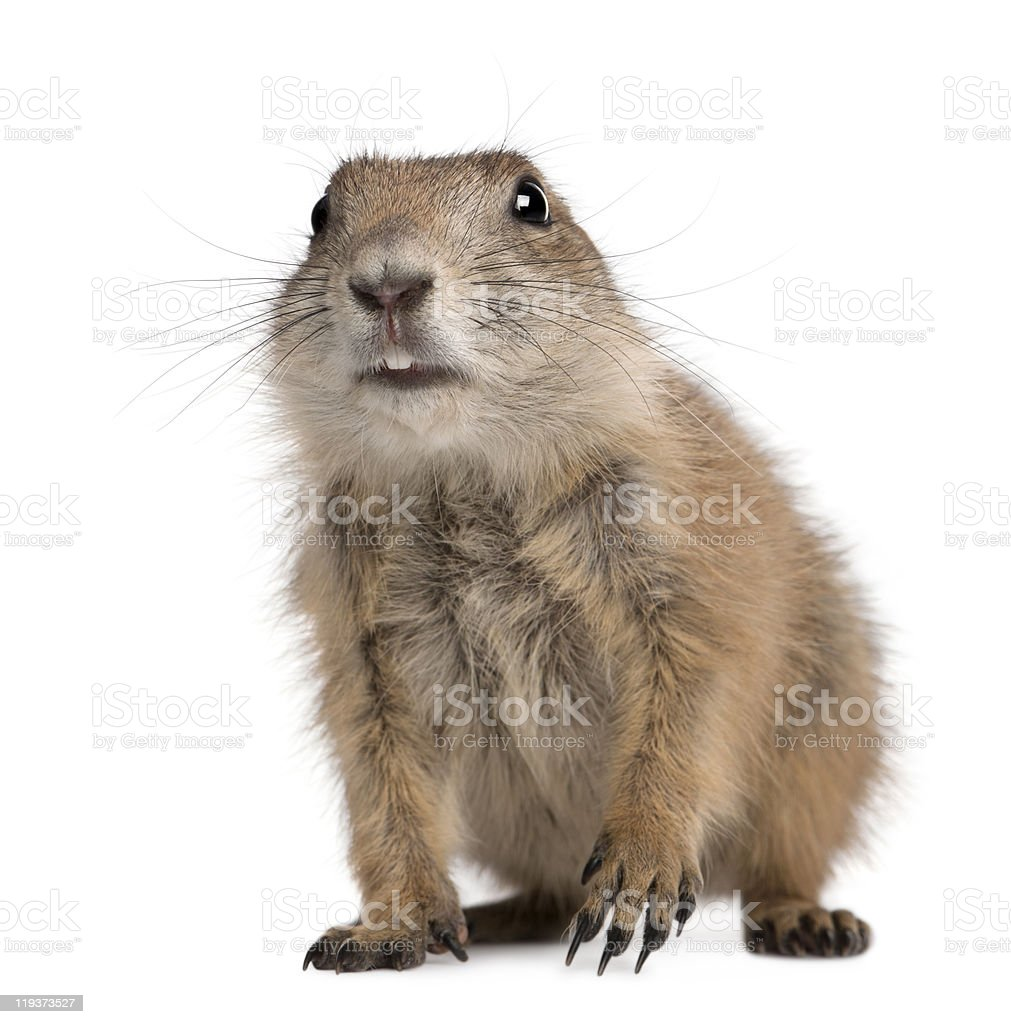 Front view of black-tailed prairie dog on white royalty-free stock photo