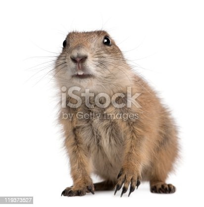Black-tailed prairie dog, Cynomys ludovicianus, sitting in front of white background.