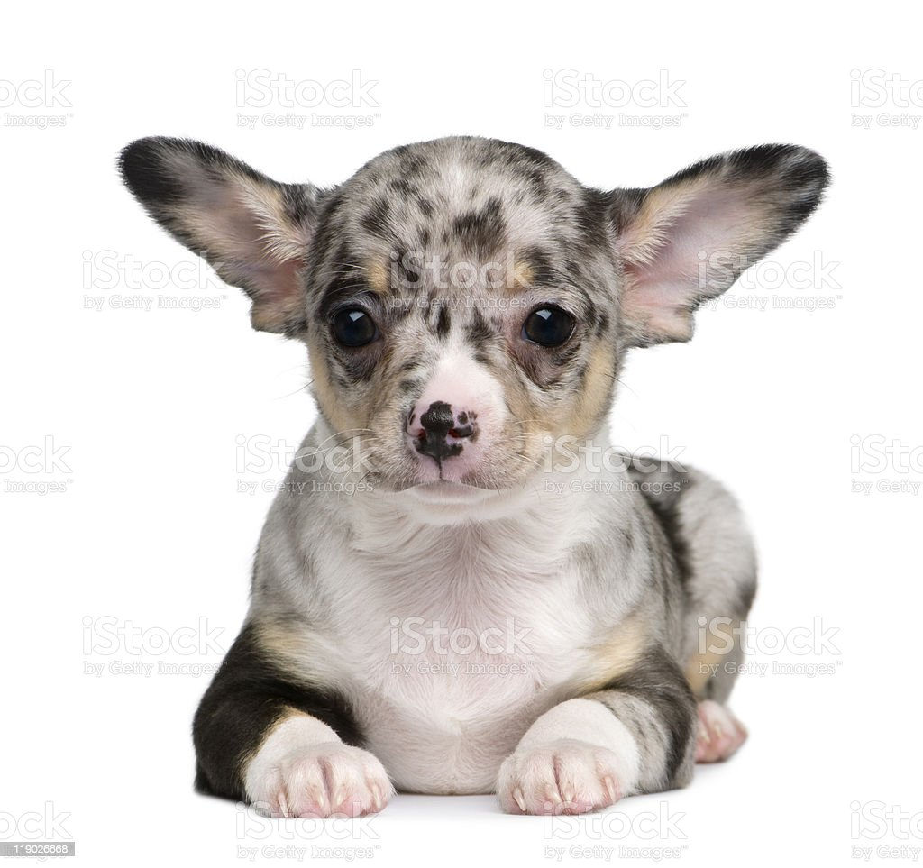 Front View Of Blue Merle Chihuahua Puppy Lying Down Stock Photo Download Image Now Istock