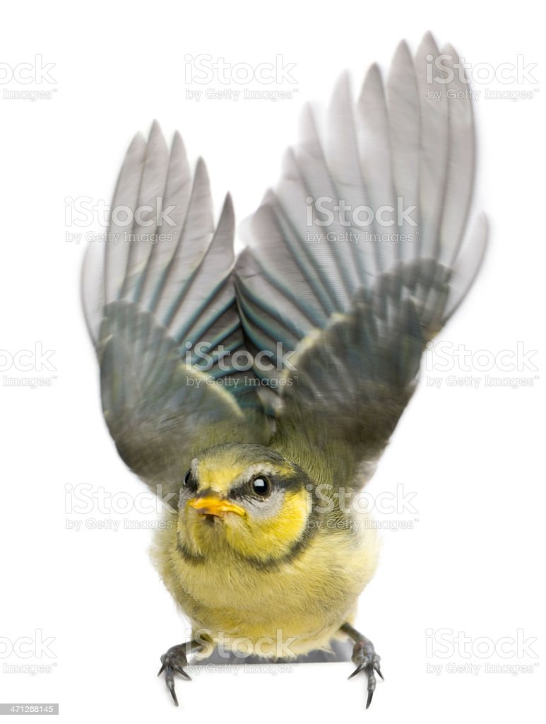 Front view of Blue Tit, 23 days old, flapping wings. royalty-free stock photo