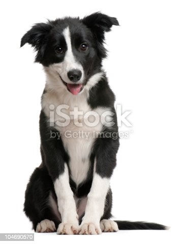 Border Collie puppy, 4 months old, sitting in front of white background.