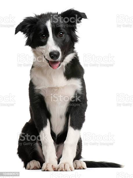 Front view of border collie puppy sitting and panting picture id104690570?b=1&k=6&m=104690570&s=612x612&h=un8lt2q1vme8dfk2gp1mup6ica21ocvz0ioyg5lejtc=