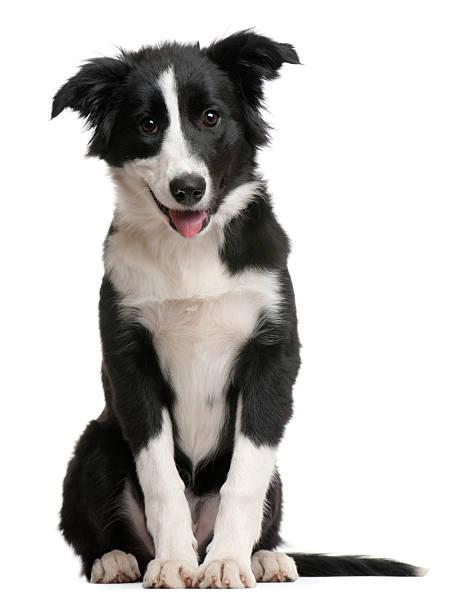 Vista frontal de Border Collie cachorro, sala de estar y jadear. - foto de stock