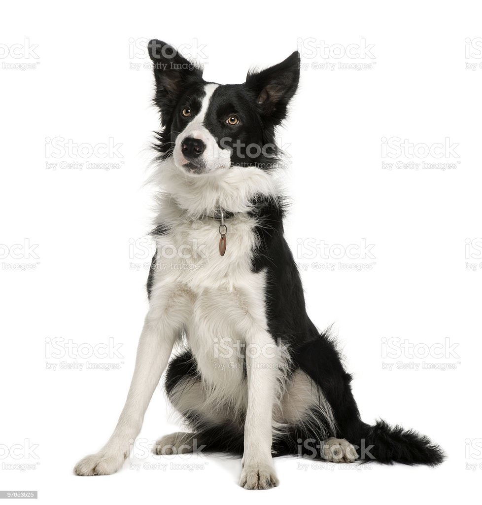 Front view of Border Collie, sitting and looking away stock photo
