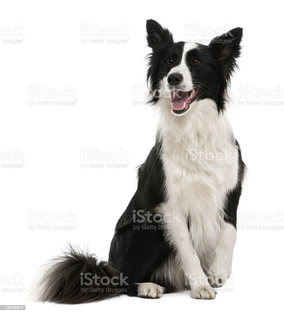 Front view of Border Collie, sitting, panting and looking away. stock photo