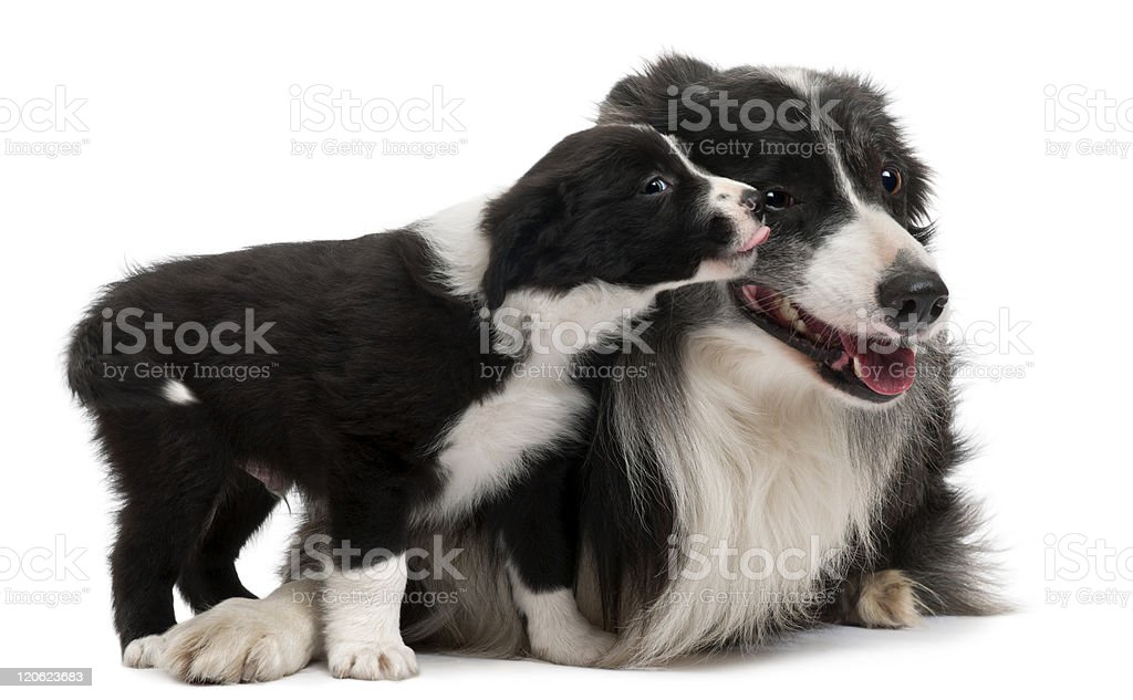 Front view of Border Collies interacting, white background. royalty-free stock photo