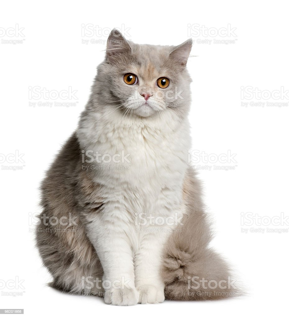 Front view of British longhair cat, sitting royalty-free stock photo