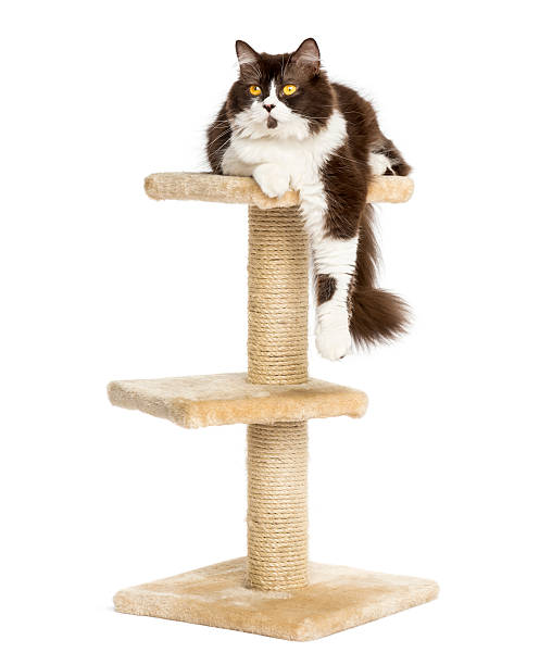 Front view of british longhair perched on a cat tree picture id456242007?b=1&k=6&m=456242007&s=612x612&w=0&h=t0jdpkhiki 1wrfons0ir 9v e8zmnqutjqzvsgwyqu=