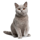 istock Front view of British shorthair cat, 7 months old, sitting. 104355461