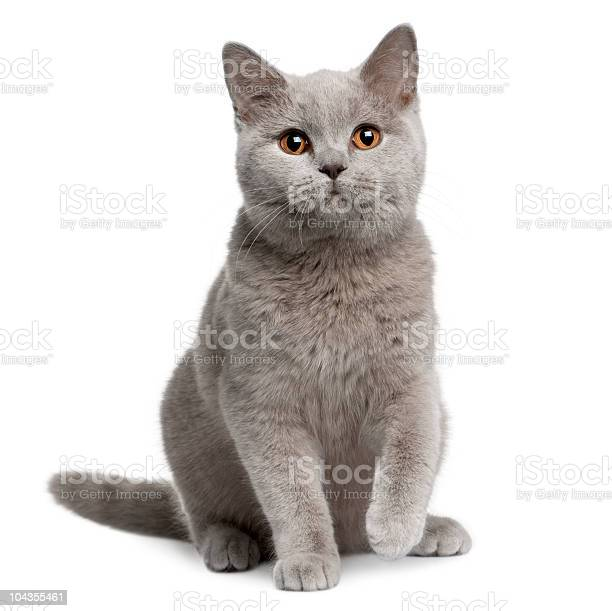 Front view of british shorthair cat 7 months old sitting picture id104355461?b=1&k=6&m=104355461&s=612x612&h= uunwnrlx3fjzicfkjwiw0id38fggzptto2glmr7wxq=