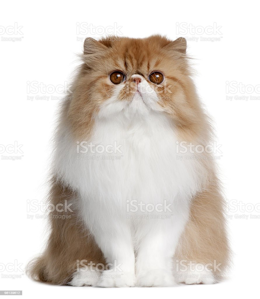Front view of British shorthair cat, sitting royalty-free stock photo