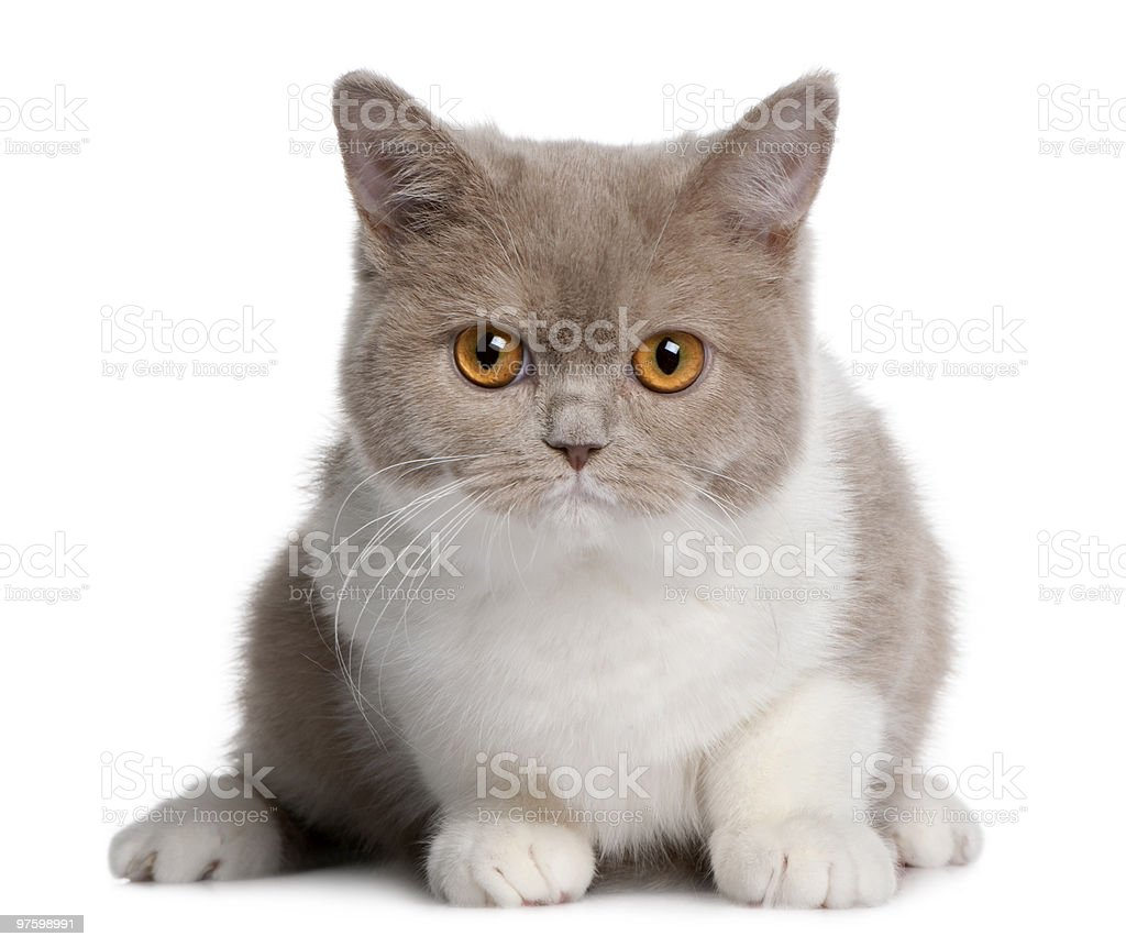Front view of british shorthair kitten, looking the camera royalty-free stock photo
