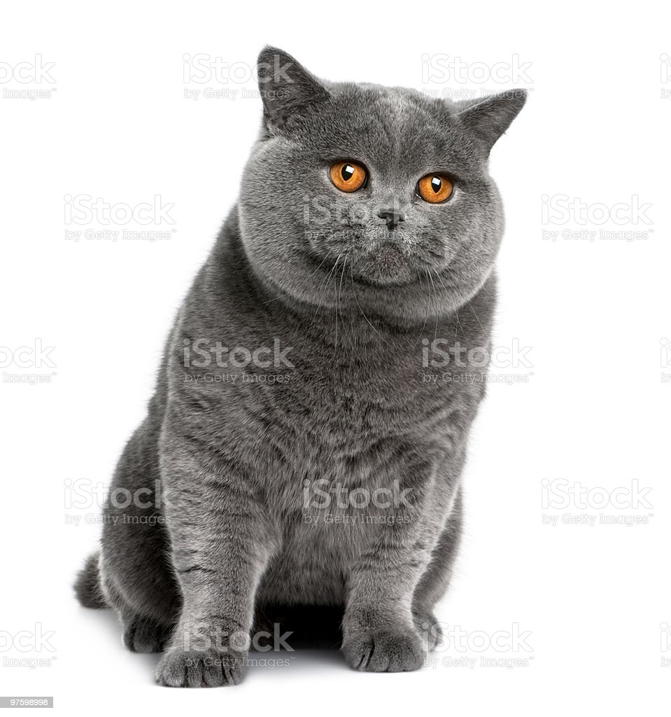 Front view of british shorthair, sitting and looking away royalty-free stock photo