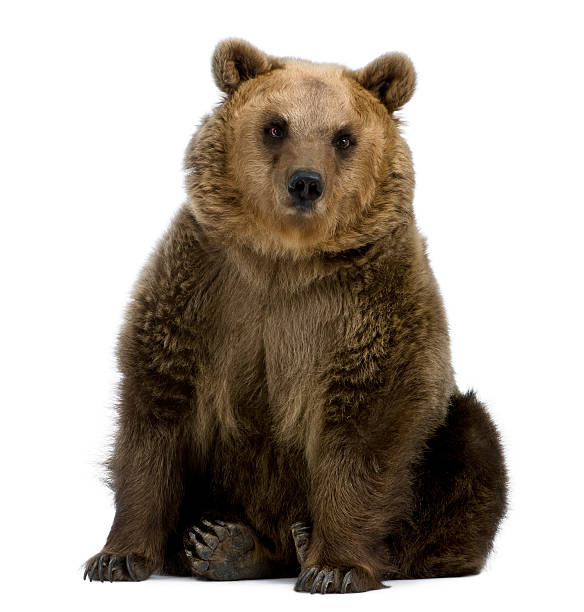 Front view of Brown Bear, 8 years old, sitting.​​​ foto