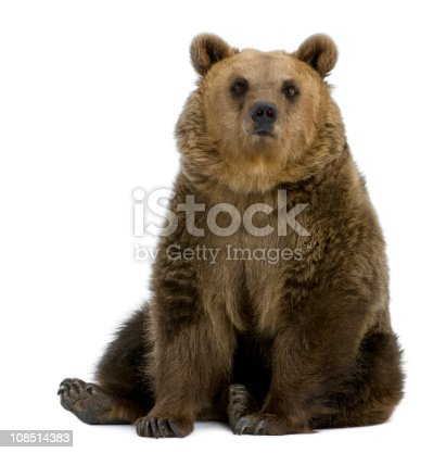 Brown Bear, 8 years old, sitting in front of white background.