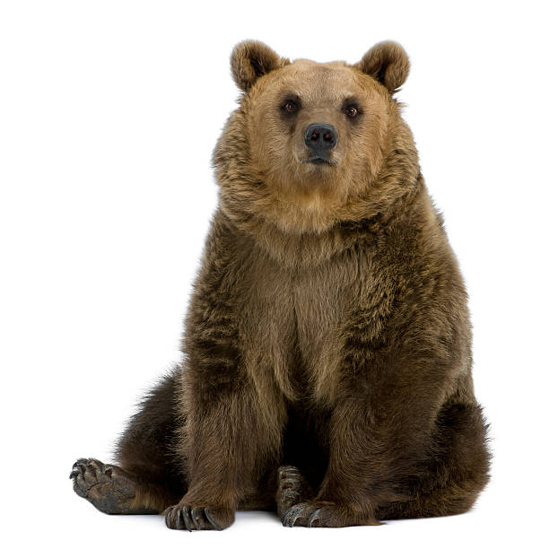 front view of brown bear, 8 years old, sitting. - bears 個照片及圖片檔