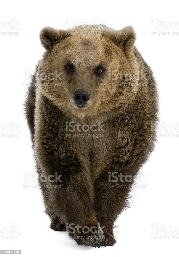 Vista frontal do urso pardo, 8 anos de idade, a pé. - foto de acervo