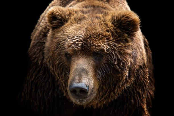 Vorderansicht des Braunbären auf schwarzem Hintergrund isoliert. Porträt von Kamtschatka-Bären (Ursus Arctos Beringianus) – Foto