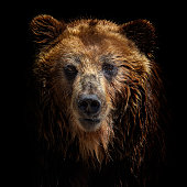 istock Front view of brown bear isolated on black background. Portrait of Kamchatka bear (Ursus arctos beringianus) 1289245135