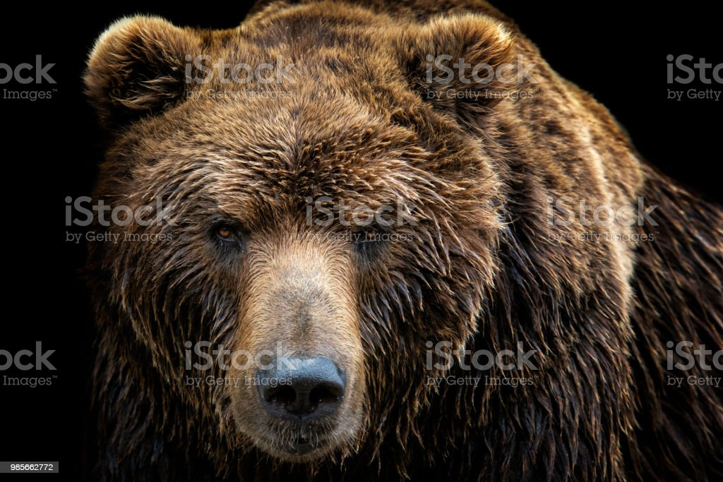 Front view of brown bear isolated on black background. Portrait of Kamchatka bear (Ursus arctos beringianus) stock photo