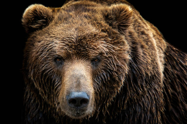 front view of brown bear isolated on black background. portrait of kamchatka bear (ursus arctos beringianus) - muso foto e immagini stock