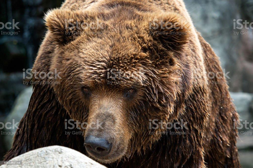 Vista frontal del oso pardo. Retrato del oso (Ursus arctos beringianus) de Kamchatka - foto de stock