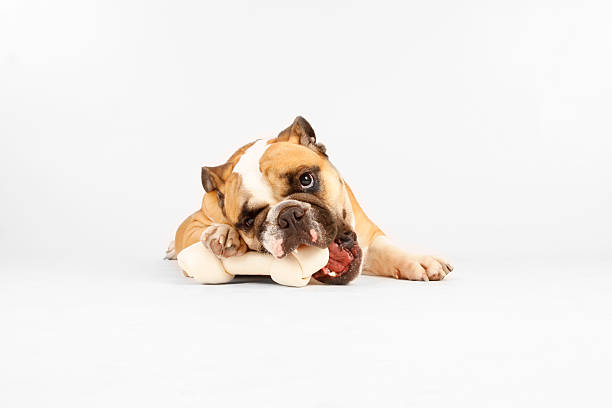 Front view of Bulldog chewing on a bone on white background stock photo
