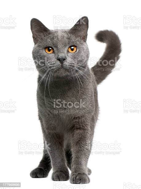 Front view of chartreux cat 16 months old standing picture id177969695?b=1&k=6&m=177969695&s=612x612&h=jspyv7olkiiaf4v7yncdbd63x6g79qfl13bugat4 de=