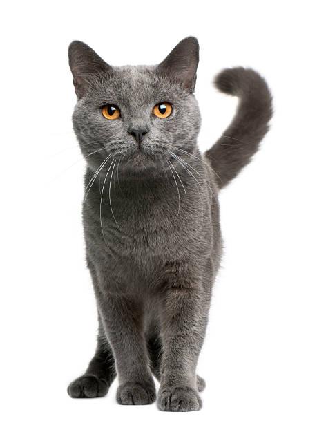 Front view of chartreux cat 16 months old standing picture id177969695?b=1&k=6&m=177969695&s=612x612&w=0&h=q5lfgoll6a7iuimp0mqnp6tu36z 2pierpma4vrkli4=