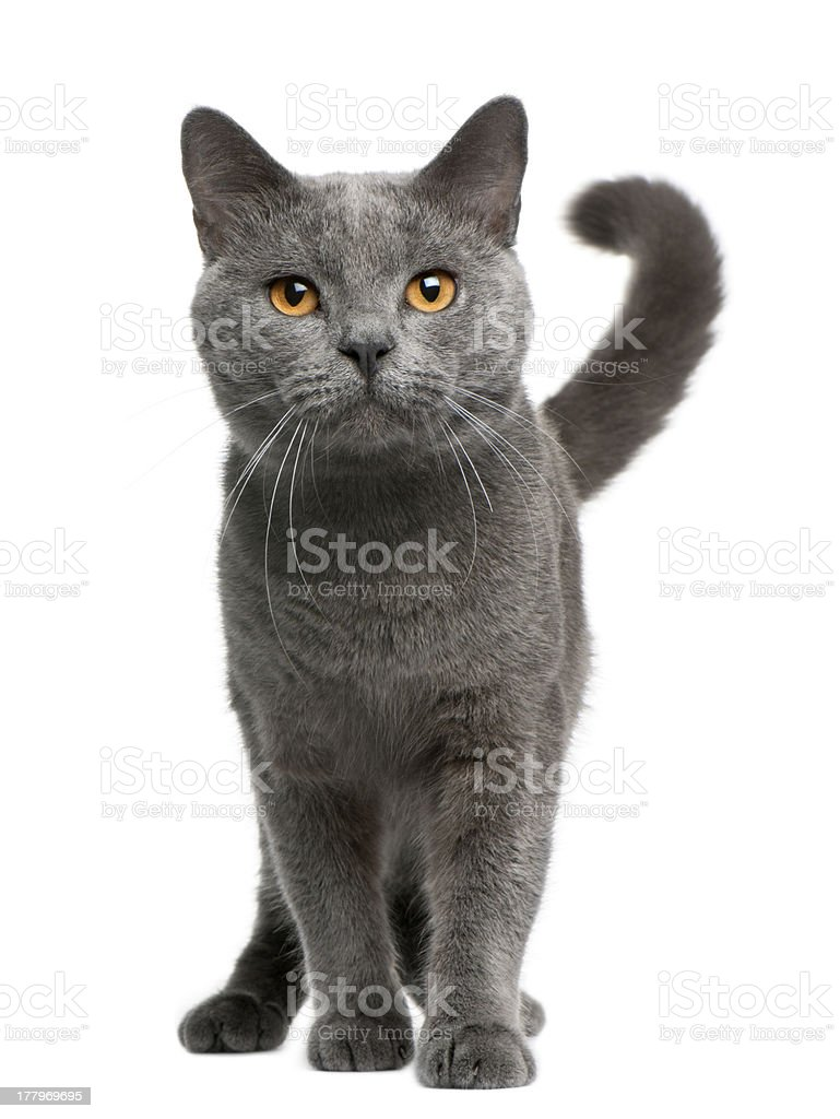Front view of Chartreux cat, 16 months old, standing stock photo