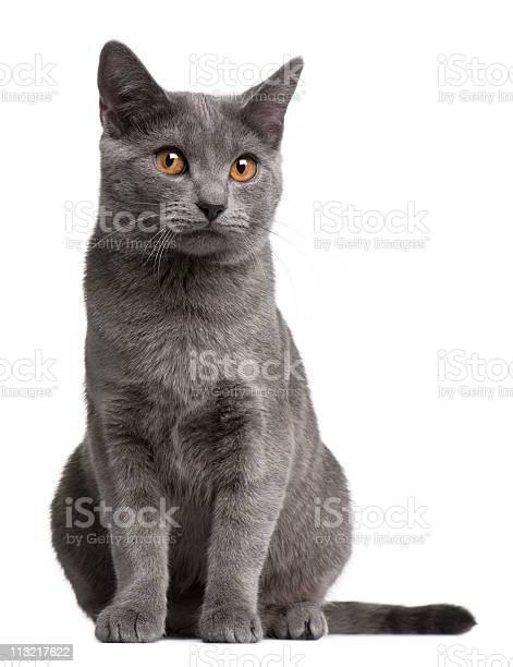 Front view of chartreux kitten 5 months old white background picture id113217622?b=1&k=6&m=113217622&s=612x612&h=qkwyp8iletlmm2scujvfohfz6nrgf30r2fy7kguvunq=