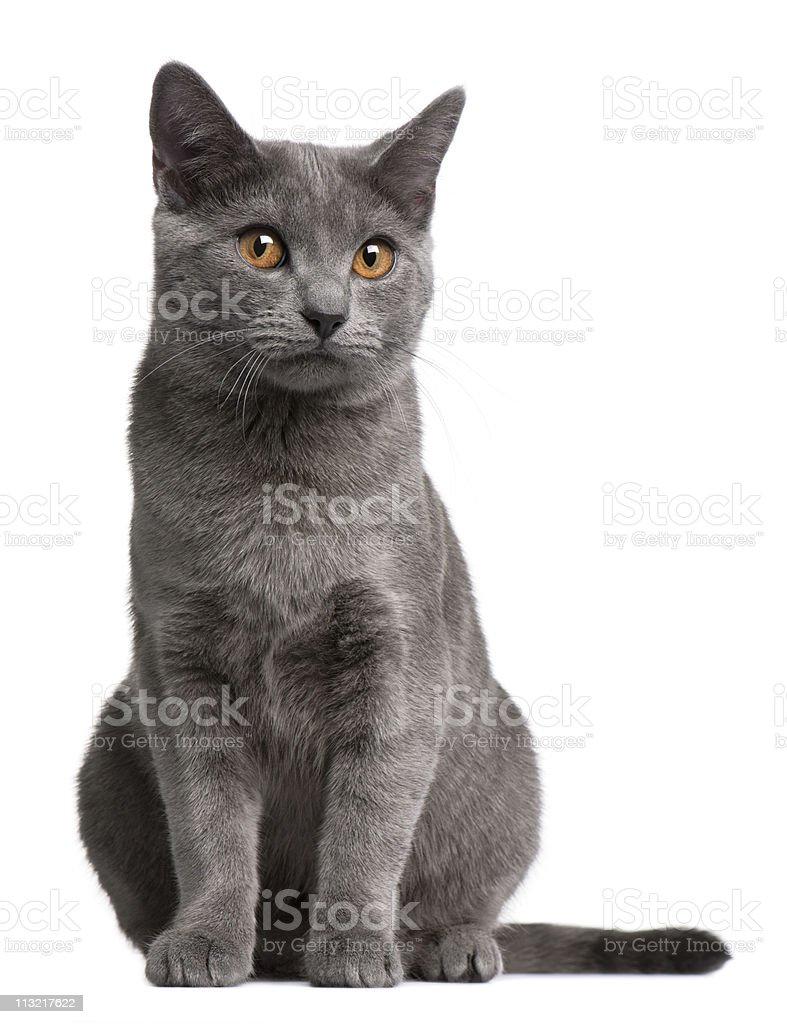 Front view of Chartreux kitten, 5 months old, white background. stock photo