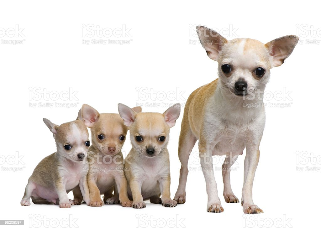 Front view of Chihuahua mother and her 3 puppies royalty-free stock photo