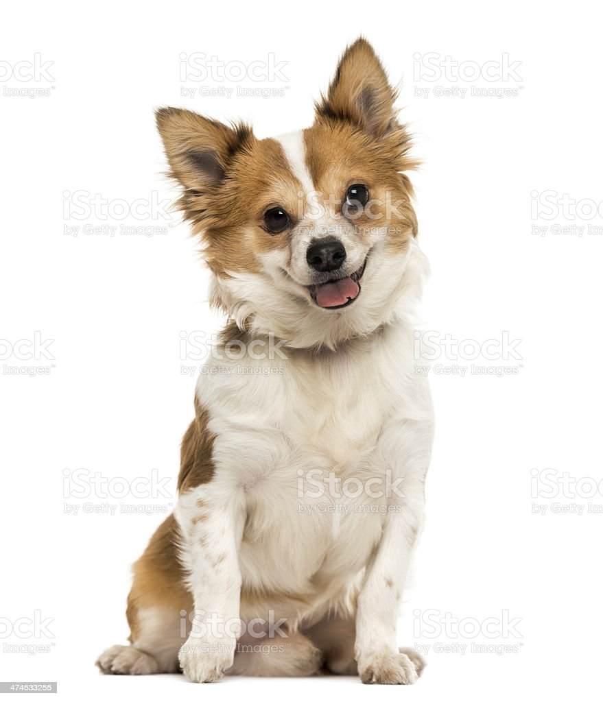 Front view of Chihuahua sitting, panting with a cutted tongue stock photo