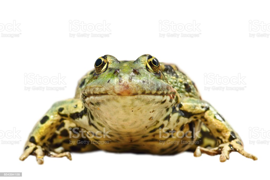 front view of common marsh frog isolated over white background stock photo