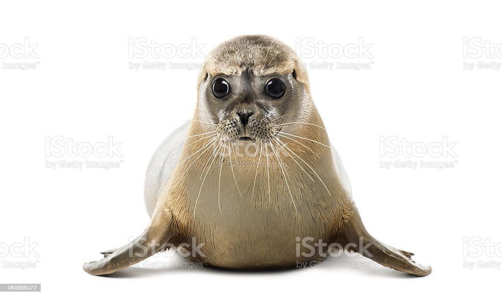 Front view of Common seal lying, looking at the camera stock photo