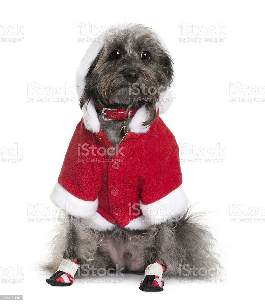 Front view of Crossbreed dog in Santa Claus suit, sitting royalty-free stock photo