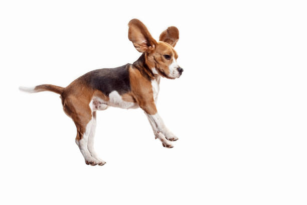 Front view of cute beagle dog isolated on a white background picture id1040325306?b=1&k=6&m=1040325306&s=612x612&w=0&h=dmaup3f rigeadyn lsdsb uxm3nwd00hrmezejunvs=